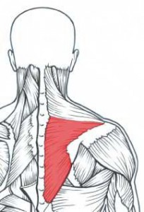 Middle and lower traps