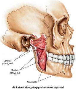 jaw anatomy